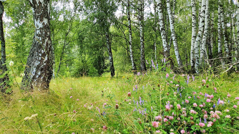 природа каменки, каменские холмы лес, березовая роща